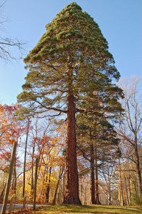 290px-Giant_Sequoia_Sequoiadendron_giganteum_Tyler_Tree_2000px