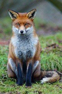 LE RENARD ENRHUME. dans Divers contes et poésies. 250px-fox_study_6-199x300