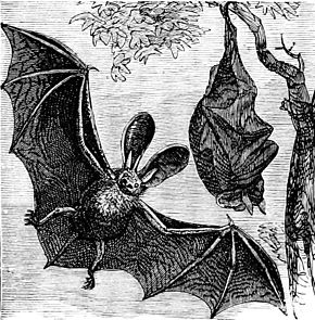 290px-psm_v07_d672_long_eared_english_bat