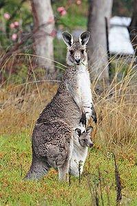 200px-kangaroo_and_joey03